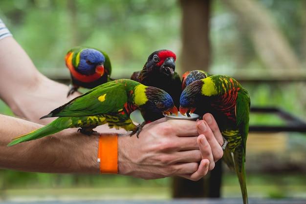 Papagaios comendo sementes da mão humana.