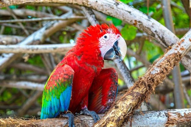 Papagaios de arara no galho da árvore