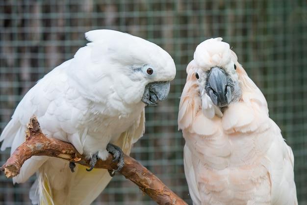 Papagaios de cacatuas branco lindo casal em um galho