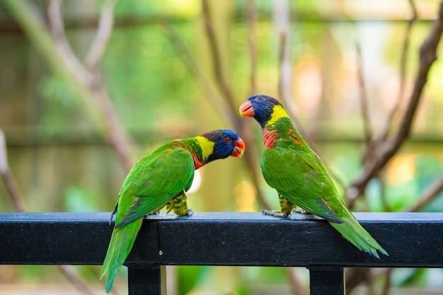 Papagaios de lorikeet do arco-íris em um parque verde. parque das aves, vida selvagem
