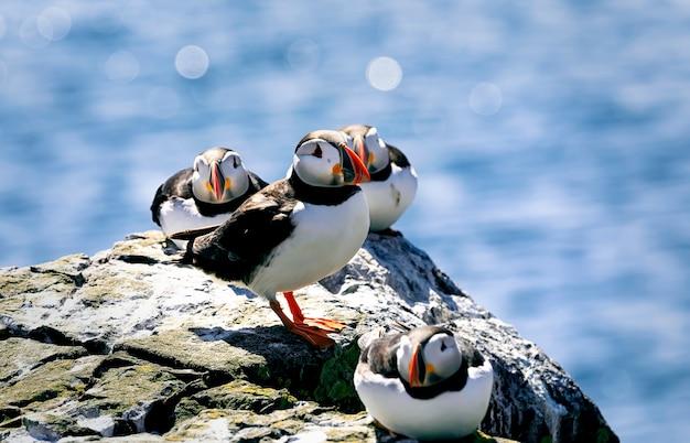 Papagaios do atlântico estão relaxando em uma grande pedra sob a luz do sol quente. ilhas farne, northumberland inglaterra, mar do norte. reino unido