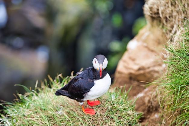 Papagaios-do-mar bonitos nas falésias de latrabjarg, um promontório e o ponto mais ocidental da islândia. lar de milhões de papagaios-do-mar, gannets, guillemots e razorbills. fiordes ocidentais, islândia