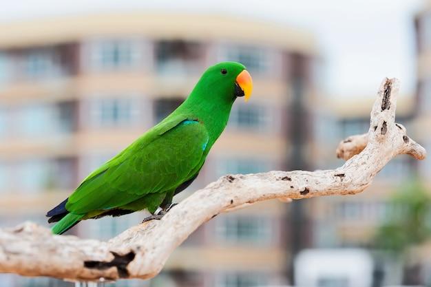 Papagaios eclectus verdes.
