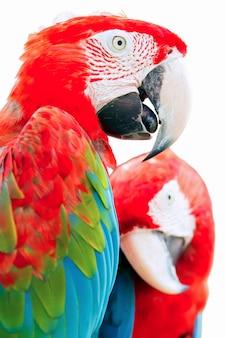 Papagaios isolados em um fundo branco.