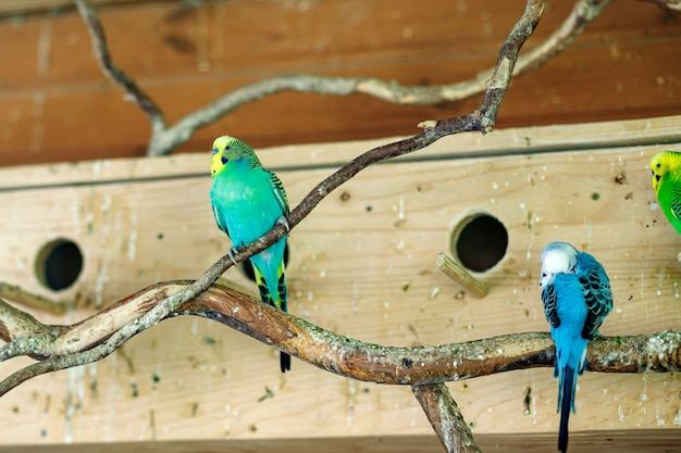 Papagaios listrados sentam-se em um galho perto dos ninhos