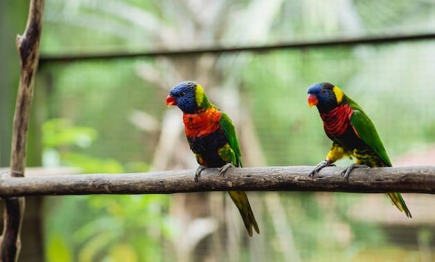 Papagaios lutando pela comida. zoológico, reserva tropical.