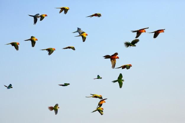 Papagaios pequenos coloridos que voam no céu.