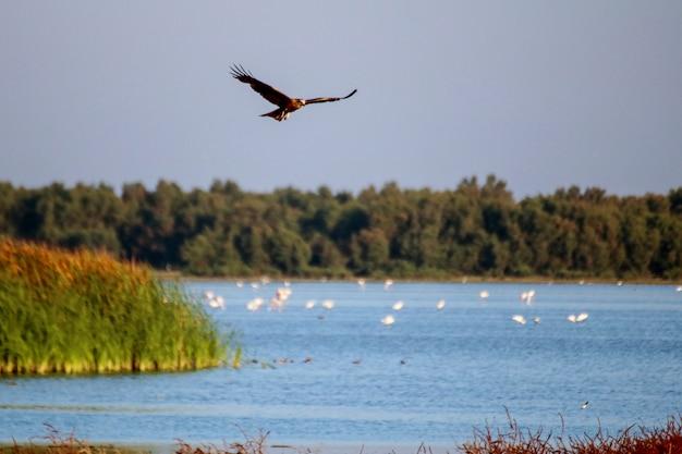 Papagaios pretos (milvus migrans) no parque nacional