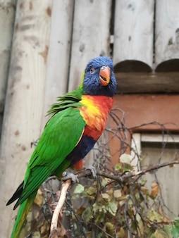 Papagaios sun conure, também conhecido como periquito-do-sol (aratinga solstitialis), nativo da américa do sul