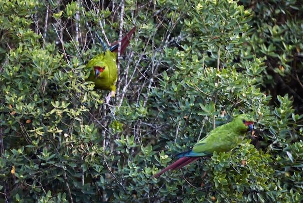 Papagaios verdes com suas caudas coloridas nos galhos das árvores
