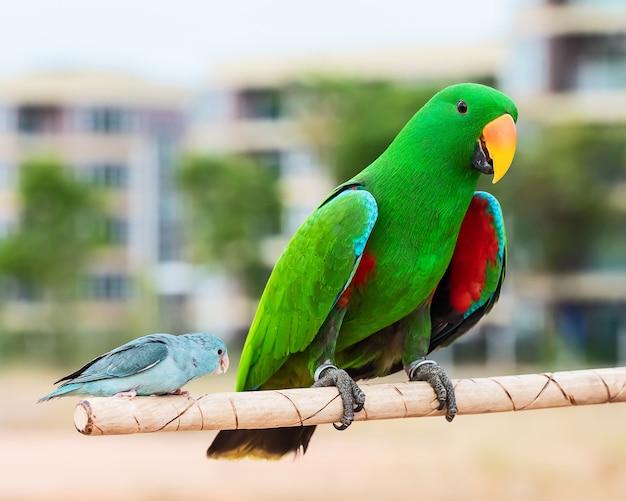 Papagaios verdes do eclectus e pássaro do forpus.