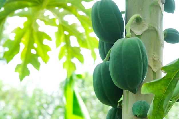 Papaia frutos da árvore de mamão no jardim na tailândia natureza mamão verde fresco na árvore com frutas.