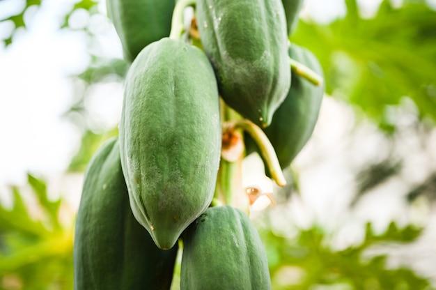 Papaia nova na árvore de papaia no jardim, na planta ou no fruto de tailândia.