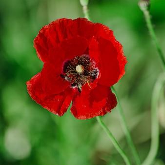 Papaver rhoeas, comum, milho, flandres, papoula vermelha, rosa de milho, campo é floração família papoula papaveraceae.