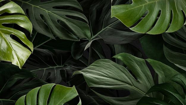 Papel de parede de fundo da natureza com folhas monstera