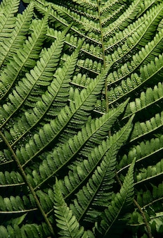 Papel de parede de textura de folha de samambaia. fundo verde da natureza