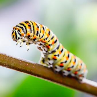Papilio macaão caterpillar