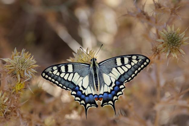 Papilio machaon com suas cores vibrantes