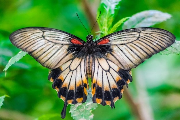 Papilio memnon, grande borboleta mórmon