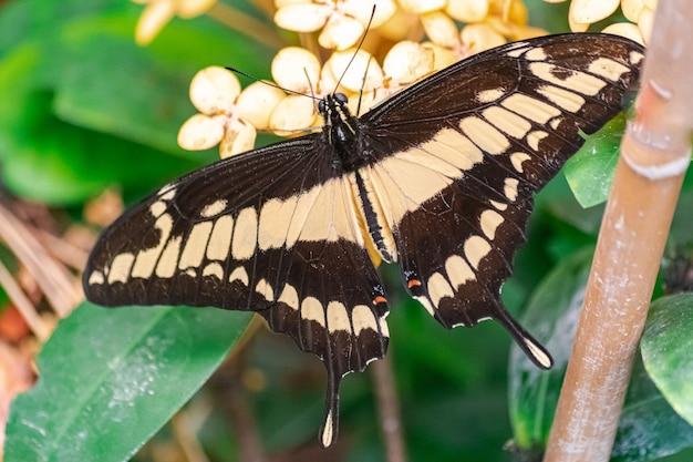 Papilio thoas, o rei rabo de andorinha borboleta