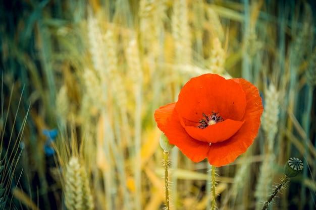 Papoila vermelha soprada em um fundo desfocado de espigas de milho secas