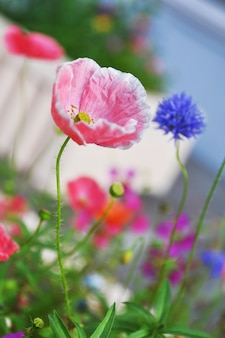 Papoilas coloridas no canteiro. foto desfocada de flores