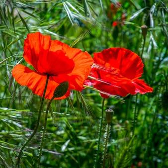 Papoilas em flor em ronda