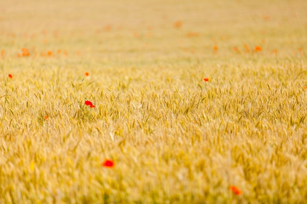 Papoilas em um campo de trigo