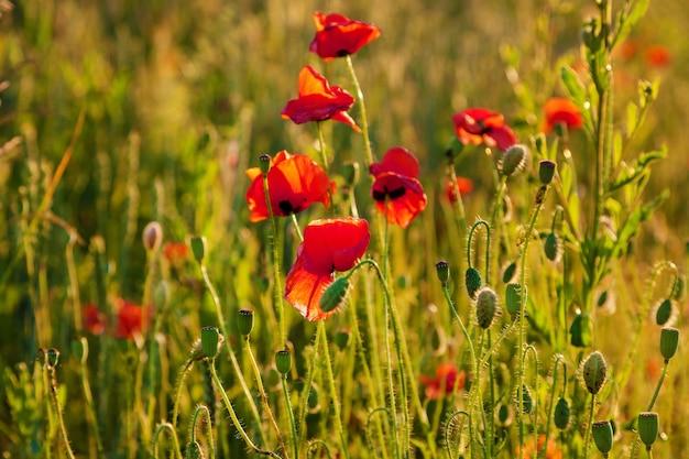 Papoilas na luz do pôr do sol, flores de papoula ao pôr do sol