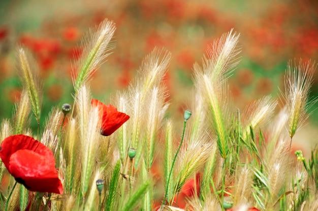 Papoilas vermelhas brilhantes closeup com papoulas borradas no fundo