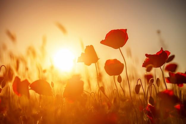 Papoilas vermelhas brilhantes em um campo ao pôr do sol.