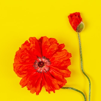 Papoilas vermelhas de flores no plano de fundo amarelo close-up vista superior lay plana