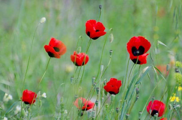 Papoilas vermelhas de florescência entre os verdes da primavera