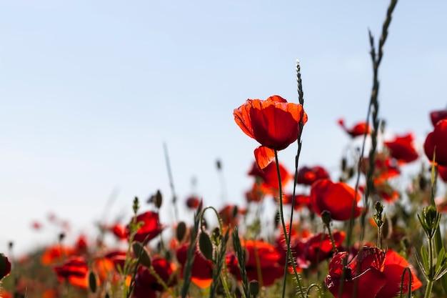 Papoilas vermelhas de verão com defeitos, papoilas vermelhas em um campo