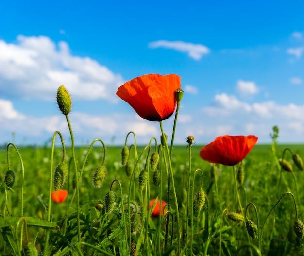 Papoilas vermelhas e verdes em campo verde e céu azul com nuvens
