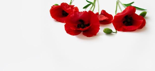 Papoilas vermelhas em um cartão postal de fundo branco no estilo do minimalismo local para texto close-up
