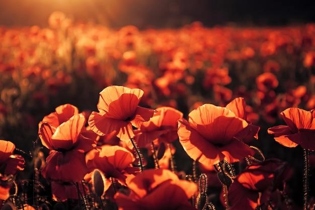 Papoilas vermelhas florescem em campo selvagem