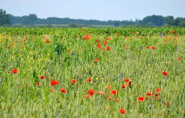 Papoilas vermelhas na grama verde com o filtro do horizonte