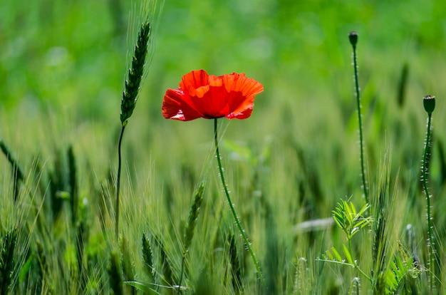 Papoilas vermelhas selvagens em um campo de trigo