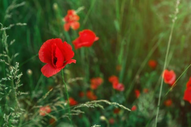 Papoilas vermelhas selvagens no campo closeup cartão postal com flores vermelhas lentas botões de papoula lugar para texto copyspace