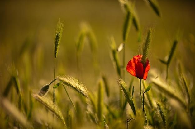 Papoula florescendo em um campo de trigo. o trigo verde envolve a solitária papoula em flor. papoulas selvagens em um campo de trigo, copie o espaço