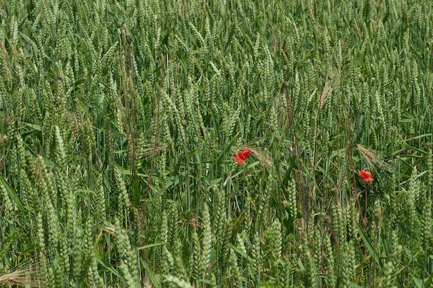 Papoulas em um campo de trigo verde e centeio