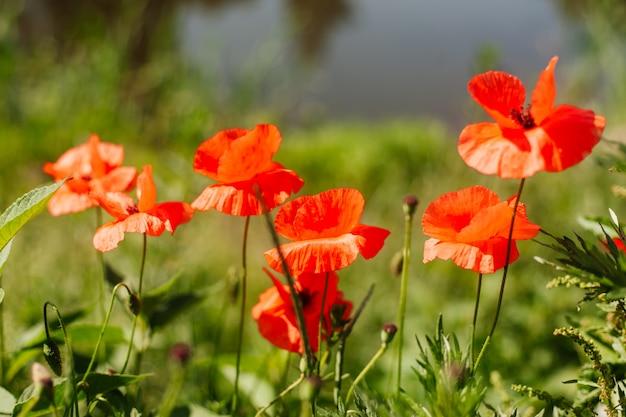 Papoulas flores no campo em um dia ensolarado de verão