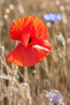 Papoulas vermelhas e laranja, centáureas azuis brilhantes em um campo do lado de fora.