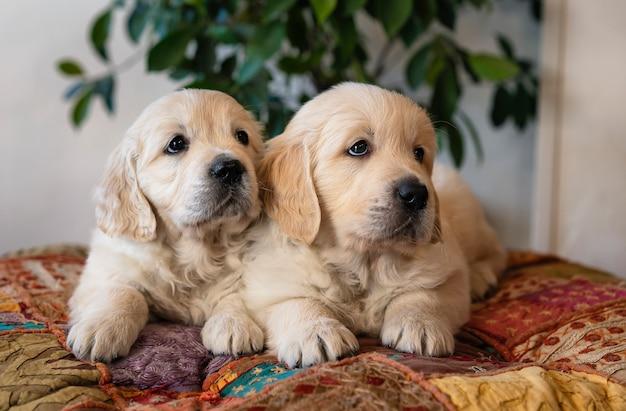 Par, cute, retriever dourado, filhotes cachorro, mentindo baixo, retrato