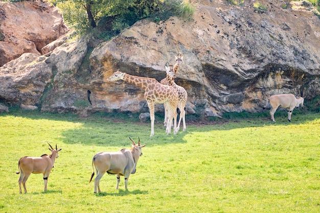 Par de antílopes elands ao lado de girafas