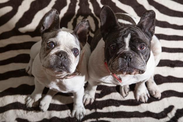 Par de cães bulldog francês curiosos olhando para o dono esperando ou paciente sentado para brincar ou dar um passeio, imagem isolada.