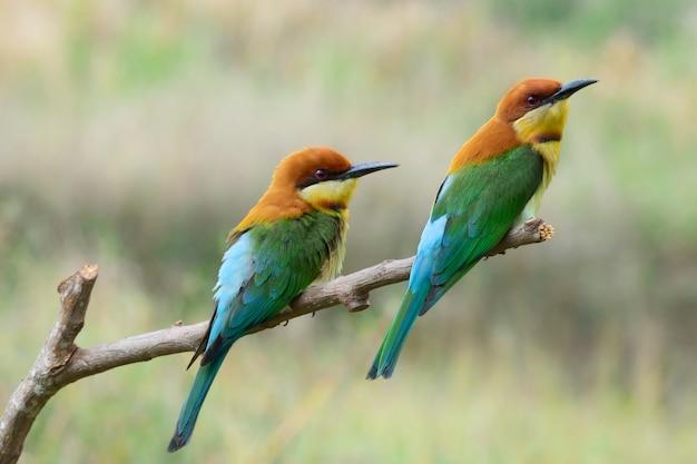 Par, de, chestnut-headed, bee-eaters, ou, merops, leschenaulti, perching, ligado, filial árvore, tailandia