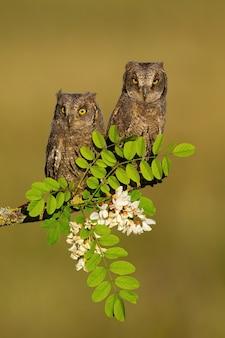 Par de coruja-do-mato descansando em uma árvore florescendo na primavera