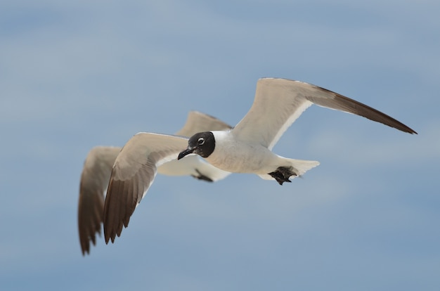 Par de gaivotas voadoras rindo voando em conjunto